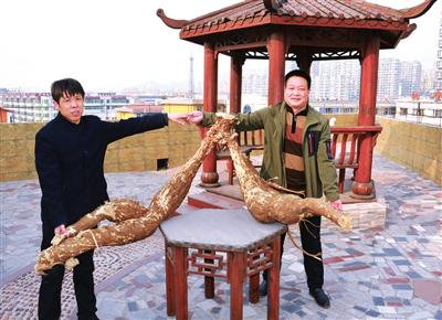 """邯郸涉县发现野生""""葛根王"""" 长1.5米重100公斤"""